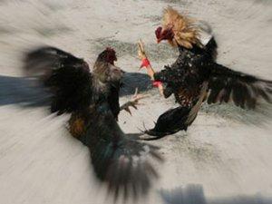 Mersin'de horoz dövüşlü kumar operasyonu