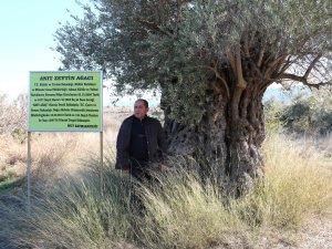 Asırlık zeytin ağacına belediye sahip çıktı