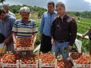 Silifke'de yaylalarda domatese alternatif çilek ekildi