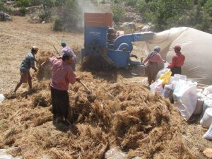 Köylü patozla harman çekiyor