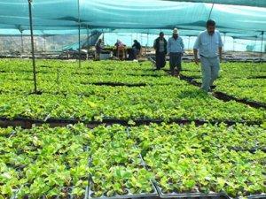 Silifke'de çilek fidesi üretimi sürüyor