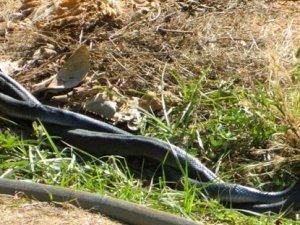 Bozyazı'da yılanların aşkı ölümle bitti