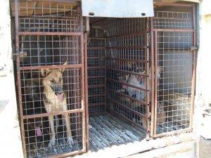 Deniz kaplumbağalarını yaralayan köpekler toplatıldı