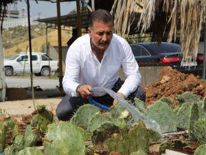 Toroslar'da Botanik Parkı için dikenli incir yetiştiriliyor