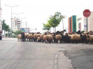 Kent içinde kümes ve ahırda hayvan besleyenlere cezai işlem