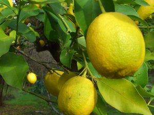 Depoda limon bitti, fiyatlar fırladı