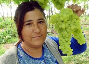 İlk üzüm hasadı Silifke'den