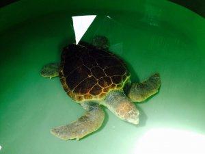 Mersin Büyükşehir Belediyesi 35. Uluslararası Deniz Kaplumbağaları Sempozyumu'na katıldı