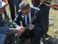 Mersin'de 2 bin 827 hektarlık alana zeytin rehabilitasyonu