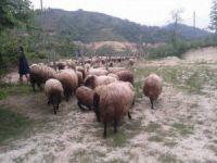 Koyunlar yayla yolunda