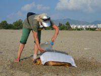 Caretta carettalar neden köpeklerin saldırısına uğruyor?