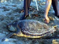 Tedavi edilen 3 caretta caretta Mersin'de denize bırakıldı