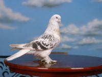 Mersin'de güvercin meraklılarından bayram pazarı