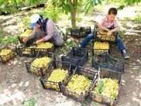 Mersinli kiraz üreticileri dertli