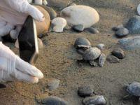 Mersin'de caretta caretta yavruları denizle buluştu