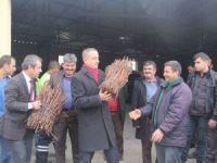 Mut Belediyesi, çiftçiye 70 bin asma anacı fidanı dağıttı