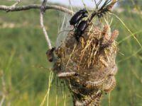 Çam Kese Böceği İle Biyolojik Mücadele Devam Ediyor
