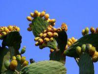 Dikenli incir, çiftçiye alternatif ürün olacak