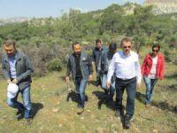 Mut'ta yabani zeytin ağaçları aşılanmaya devam ediyor